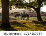 Two Horses In Woodland During...
