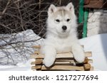Stock photo cute husky puppy in a wooden box 1217277694