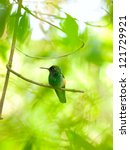 Small photo of The Rufous-tailed Hummingbird (Amazilia tzacatl) perched on a branch