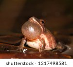a male spring peeper with... | Shutterstock . vector #1217498581