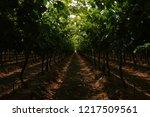 lush grape vine lanes  limpopo  ... | Shutterstock . vector #1217509561