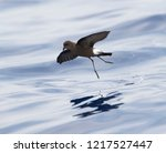Small photo of Wilson's Storm Petrel (Oceanites oceanicus) off Madeira. One of the most abundant bird species in the world.