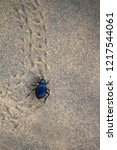 black beetles  darkling beetles ... | Shutterstock . vector #1217544061