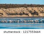 flamingos flock  patagonia ... | Shutterstock . vector #1217553664