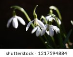 graceful galanthus flowers ... | Shutterstock . vector #1217594884