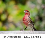 a house finch takes a drink... | Shutterstock . vector #1217657551