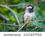 house sparrow perched in a tree | Shutterstock . vector #1217657554