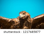 golden eagle close up. eagle... | Shutterstock . vector #1217685877