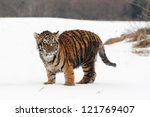 Siberian Tiger Cub In Snow