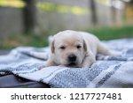 cute little young labrador... | Shutterstock . vector #1217727481