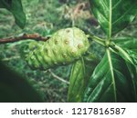 noni tropical fruit on tree | Shutterstock . vector #1217816587