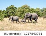 elephant family in chobe...   Shutterstock . vector #1217843791