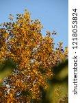 upper part of deciduous tree in ... | Shutterstock . vector #1218053824