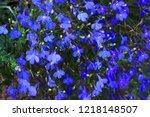 blue trailing lobelia sapphire... | Shutterstock . vector #1218148507