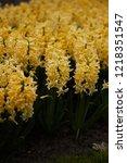 hyacinth yellow surprise dutch...   Shutterstock . vector #1218351547