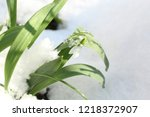 snowdrops in the winter   Shutterstock . vector #1218372907