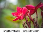 the pink plumeria flower... | Shutterstock . vector #1218397804