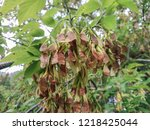 a bunch of seeds on a branch. | Shutterstock . vector #1218425044