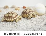 Stock photo close up baby tortoise hatching african spurred tortoise birth of new life cute baby animal 1218560641