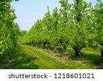 White Pear Tree Blossom  Sprin...
