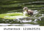Baby Wood Duck On Lily Pad