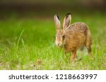 Stock photo european brown hare lepus europaeus running in a meadow germany 1218663997