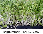 sunflower sprout in organic... | Shutterstock . vector #1218677557