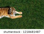 ttiger lies on the grass and... | Shutterstock . vector #1218681487