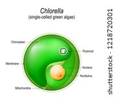chlorella. anatomy of the... | Shutterstock .eps vector #1218720301