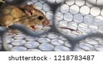 rat in cage mousetrap on white... | Shutterstock . vector #1218783487