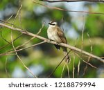 the bulbuls are a family ... | Shutterstock . vector #1218879994