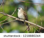 the bulbuls are a family ... | Shutterstock . vector #1218880264