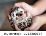 Cute african hedgehog on baby...