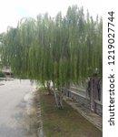 weeping willow tree   Shutterstock . vector #1219027744