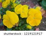 pansy  scientific name is viola ... | Shutterstock . vector #1219121917