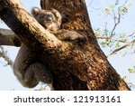 a little koala on a eucalyptus... | Shutterstock . vector #121913161