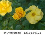 this rose is named rosa... | Shutterstock . vector #1219134121