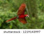 red parrot in flight. macaw... | Shutterstock . vector #1219143997