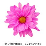 Stock photo pink chrysanthemum isolated on white background 121914469