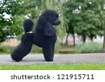Black Medium Size Poodle Female