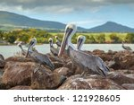 brown pelicans waiting for the... | Shutterstock . vector #121928605