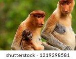 wild mother and baby proboscis... | Shutterstock . vector #1219298581