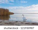 White Swan At European Lake...