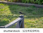 Small photo of Willie Wagtail on a post