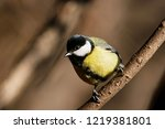 great tit sitting on branch of... | Shutterstock . vector #1219381801