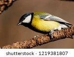 great tit sitting on branch of... | Shutterstock . vector #1219381807