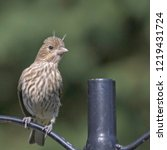 House Finches Are Frequent...
