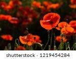 poppy field at back lit | Shutterstock . vector #1219454284