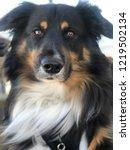 black tri australian shepherd...   Shutterstock . vector #1219502134