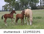 palamino  beige coloured  mare... | Shutterstock . vector #1219532191